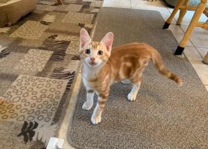 Chase- Special Needs Kitten