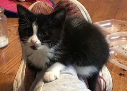Astaire Kitten